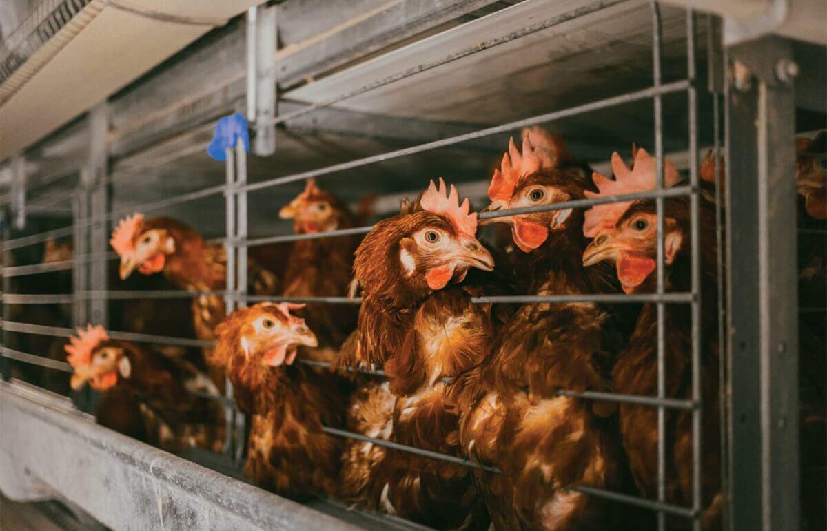 Бели Мост - Живинарска Фарма за производство на јајца - Кокошки