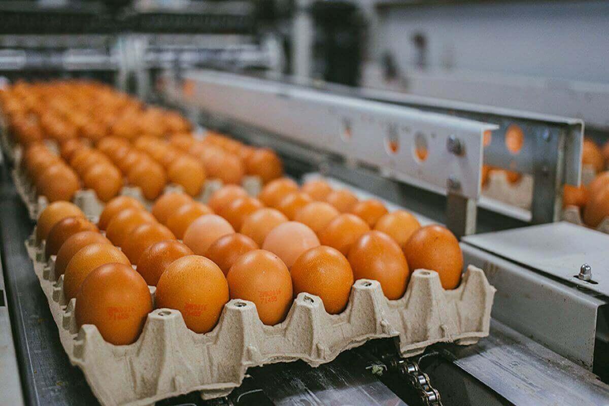 Бели Мост - Живинарска фарма за производство на јајца - сортирачка